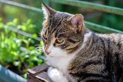 Portrait of domestic tabby cat on terrace. In sunlight Stock Images