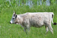 Domestic white cow grazes on a meadow on grass. Portrait of domestic white cow with horns on grazing stock photography