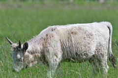 Domestic white cow grazes on a meadow on grass. Portrait of domestic white cow with horns on grazing stock photos