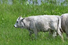 Domestic white cow grazes on a meadow on grass. Portrait of domestic white cow with horns on grazing stock images