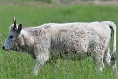 Domestic white cow grazes on a meadow on grass. Portrait of domestic white cow with horns on grazing royalty free stock photography