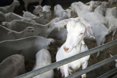 Portrait of domestic white goat in stable with other goats in th Stock Image