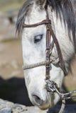 Portrait of a domestic white horse. Merida, Venezuela Stock Images