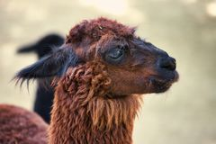 Portrait of domesticated Alpaca Vicugna pacos species of South American camelid. Photography of nature and wildlife royalty free stock photography