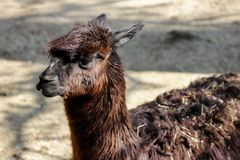 Portrait of domesticated Alpaca Vicugna pacos species of South American camelid. Photography of nature and wildlife stock images