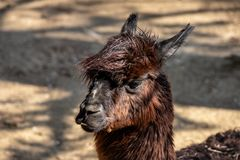 Portrait of domesticated brown Alpaca Vicugna pacos species of South American camelid. Photography of lively nature stock images