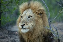 A portrait of a dominant lion. A portrait of a dominant male lion in the prime of his life with his head up and eyes open. Beautifully showing of his majestic royalty free stock image