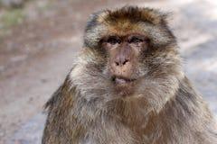 Portrait dominant male Barbary Ape, Macaca Sylvanus, Atlas Mountains, Morocco Stock Image