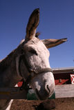 Portrait of donkey. Leaning over fence with blue sky background Stock Photos