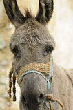Portrait of donkey Royalty Free Stock Photos