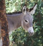 Portrait of a donkey Stock Images