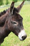 Portrait of a donkey. Royalty Free Stock Images