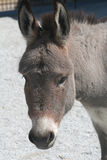 Portrait of A Donkey. Taken at the local farm in Indiana stock photo