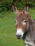 Portrait Of A Donkey. In the meadow Royalty Free Stock Image