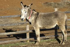 Portrait of a donkey adult Royalty Free Stock Images