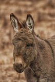 Portrait of Donkey. Close-up of a donkey on a farm Royalty Free Stock Photo