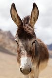 Portrait of Donkey. Close-up of donkey head, Zanskar Valley, Ladakh, India Royalty Free Stock Photography