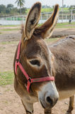 Portrait of a donkey. Royalty Free Stock Photo