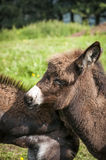Portrait of a donkey foal Royalty Free Stock Photo
