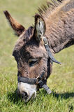 Portrait of donkey grazing Royalty Free Stock Image