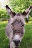 Portrait of the donkey Stock Photo