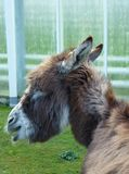 A portrait of a donkey Royalty Free Stock Photo