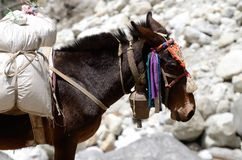 Portrait of donkey with heavy load,Nepal Stock Photography