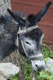 A portrait of a donkey, his head lowered with sad eyes.  Stock Photo