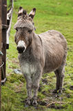 Portrait of donkey in meadow Stock Photo