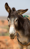 Portrait of Donkey in Morocco Stock Photography