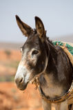 Portrait of Donkey in Morocco Royalty Free Stock Image