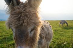 Portrait of donkey. Portrait of funny donkey on the meadow stock images