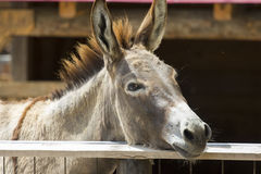 Portrait of donkey Royalty Free Stock Photo