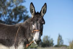 Portrait of a donkey. Tied in the field Royalty Free Stock Image