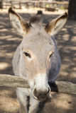 Portrait of a donkey Royalty Free Stock Photo