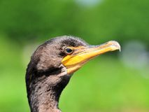Portrait of Double-crested cormorant. Portrait of a Double-crested Cormorant (Phalacrocorax auritus) in wetlands in Delray Beach, South Florida Royalty Free Stock Photo