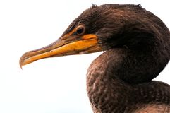 Portrait of Double-crested cormorant in wetland. Closeup of a Double-crested cormorant in Wakodahatchee Wetlands in Delray Beach, South Florida Royalty Free Stock Photo