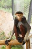 Portrait of Douc Langur Monkey Pygathrix Nemaeus Stock Photo