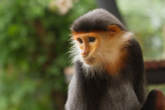 Portrait of Douc Langur Monkey Pygathrix Nemaeus Stock Photo