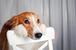 Portrait de chien de border collie dans le studio Photographie stock libre de droits