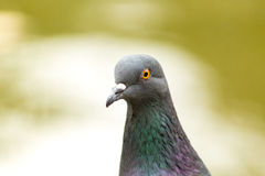 Portrait of a dove. Half-turned Stock Image