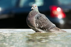 Portrait of a dove Royalty Free Stock Images