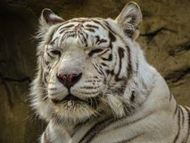 Portrait of a dozing white Bengal tiger. Big cat is self-confidence, strength, energy and dignity stock images