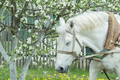 Portrait of dozing white working horse at flowering fruit tree spring background Royalty Free Stock Images