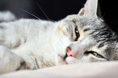 Portrait of dozy cat Royalty Free Stock Photography