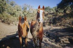 Portrait drôle de deux beaux chevaux mangeant l'herbe tout en regardant l'appareil-photo Photographie stock libre de droits