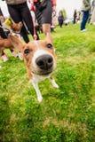 Portrait drôle de plan rapproché de Basenji de chien Photographie stock