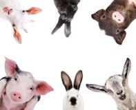 Portrait drôle des animaux d'une ferme Photo libre de droits