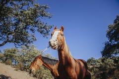 Portrait drôle du beau cheval brun mangeant l'herbe avec le visage heureux Images stock