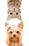 Portrait drôle d'un droit écossais de terrier et de chat de Yorkshire images stock